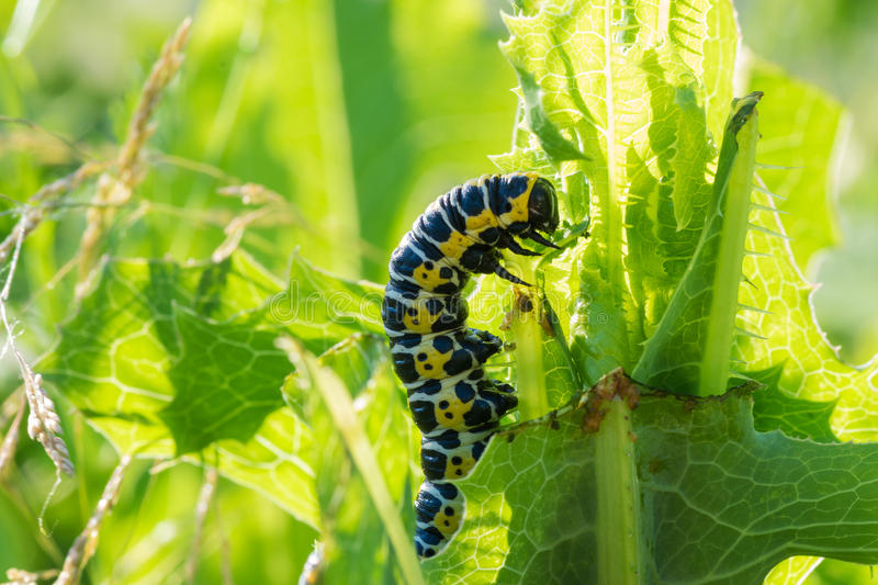 Insect caterpillar. Big fat insect caterpillar on the grass of summer royalty free stock photos