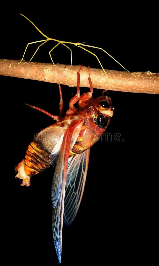 Insect cicada and walking stick bug stock images