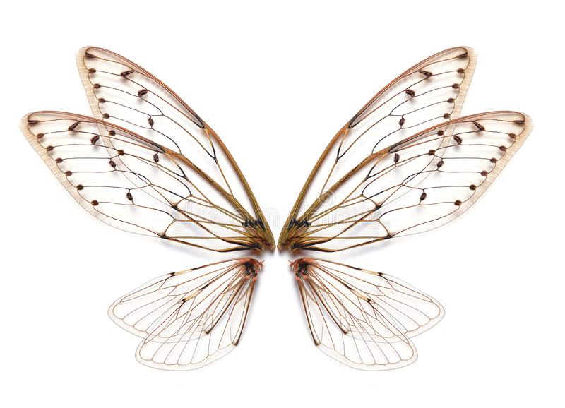 Insect cicada wing isolated on white background stock photography