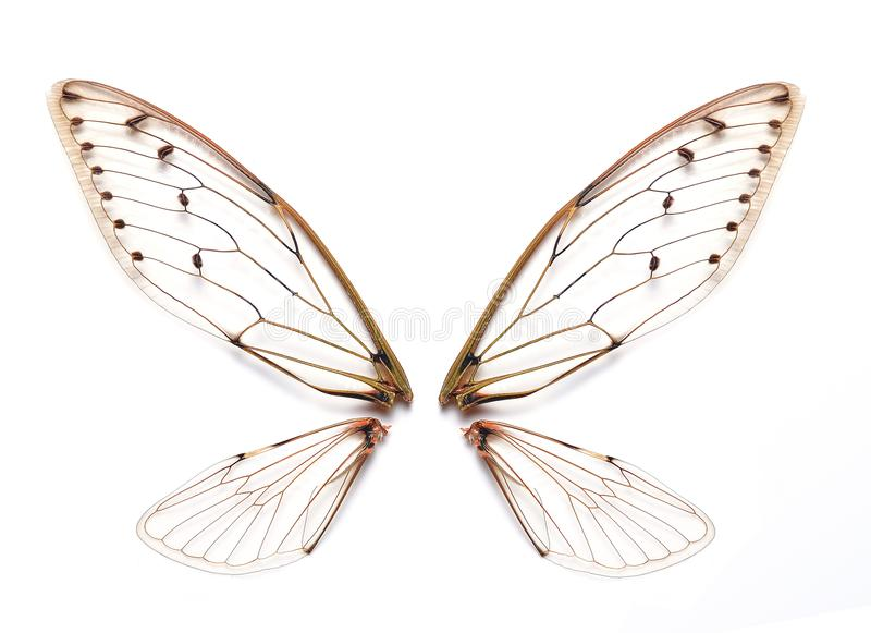 Insect cicada wings stock photo