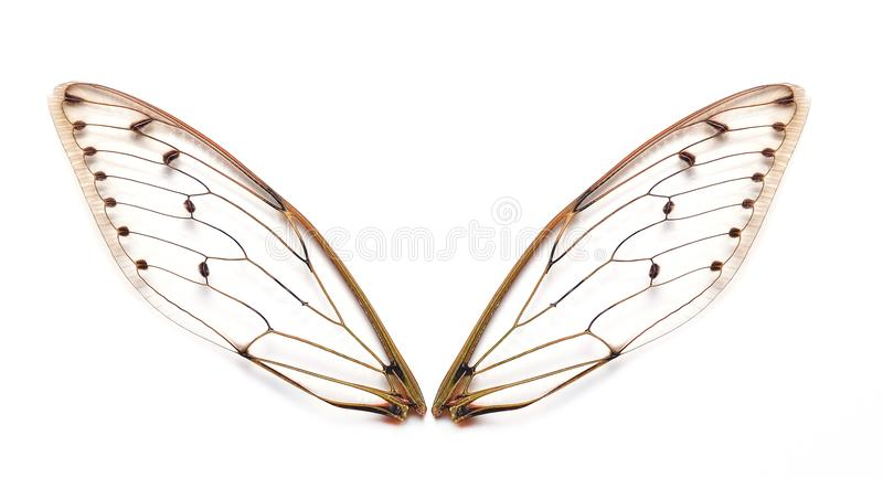 Insect cicada wings royalty free stock image