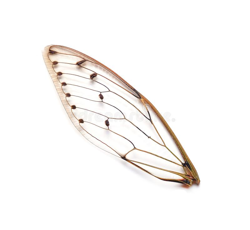 Insect cicada wings stock image