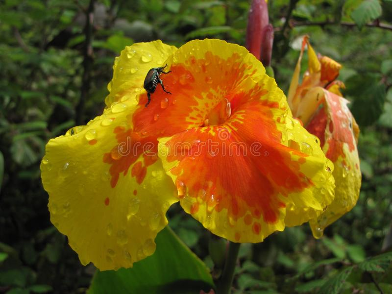 Insect climbing a flower. Macro photo of insect climbing a flower with water droplets royalty free stock photos