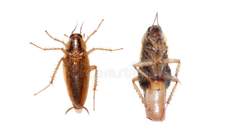 Insect Cockroach Stock Image