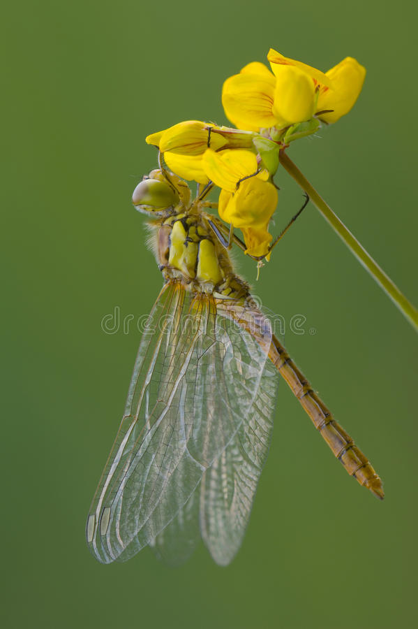 Insect - Common Darter Dragonfly stock photo