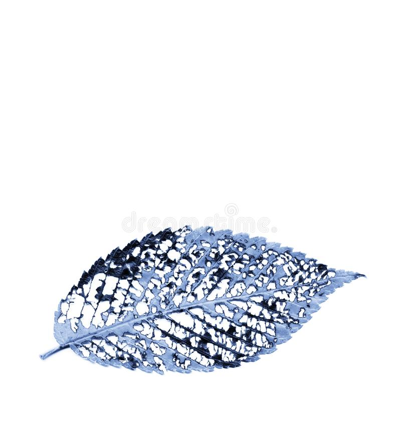 Blue monochrome decayed elm leaf vein structure royalty free stock image
