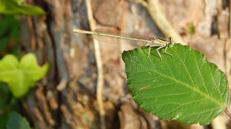 Insect, Damselfly, Invertebrate, Leaf stock photography