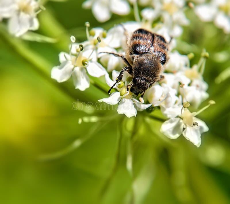 Insect De bloem van het gebied Het insect van Trichius-fasciatuszitting op de bloem royalty-vrije stock foto