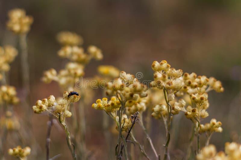 Insect die gele bloem zuigen stock fotografie