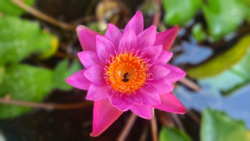 Insect dood in Roze lotusbloem stock foto's