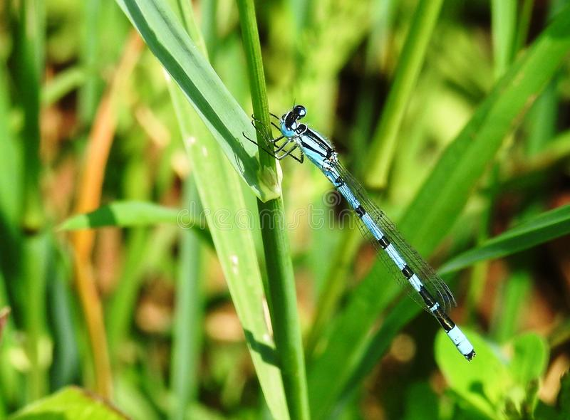 Insect, Dragonflies And Damseflies, Damselfly, Dragonfly royalty free stock photos
