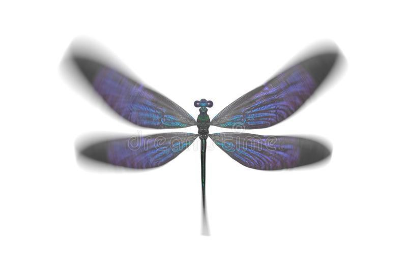 insect dragonfly with blue wings. isolated on white background royalty free stock photo