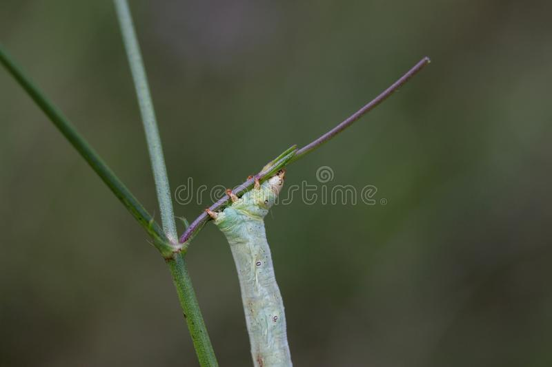 Insect, Dragonfly, Damselfly, Invertebrate royalty free stock image