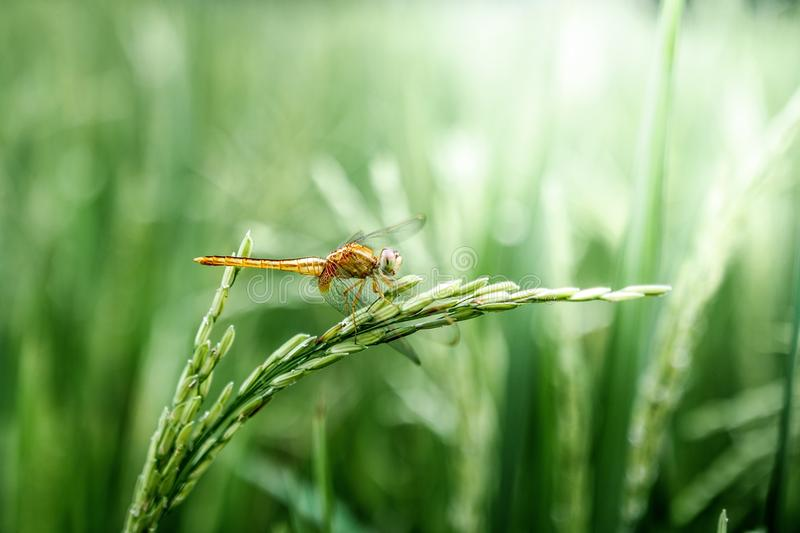 Insect, Dragonfly, Dragonflies And Damseflies, Grass royalty free stock photo