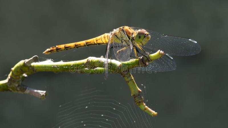 Insect, Dragonfly, Dragonflies And Damseflies, Invertebrate royalty free stock photography