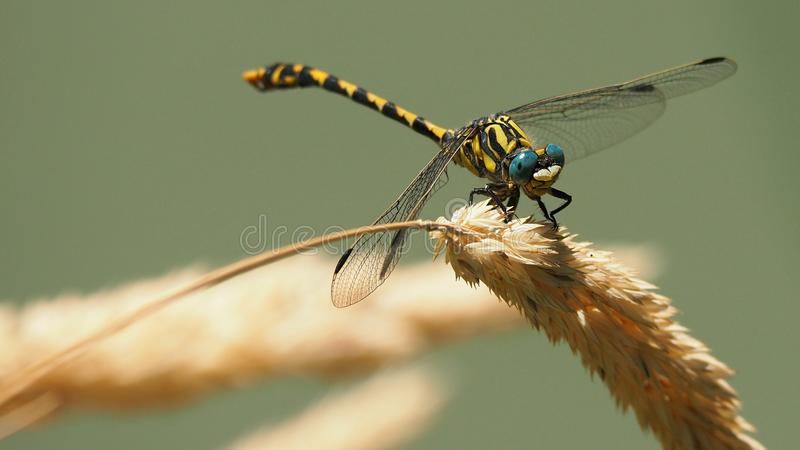 Insect, Dragonfly, Dragonflies And Damseflies, Invertebrate Free Public Domain Cc0 Image