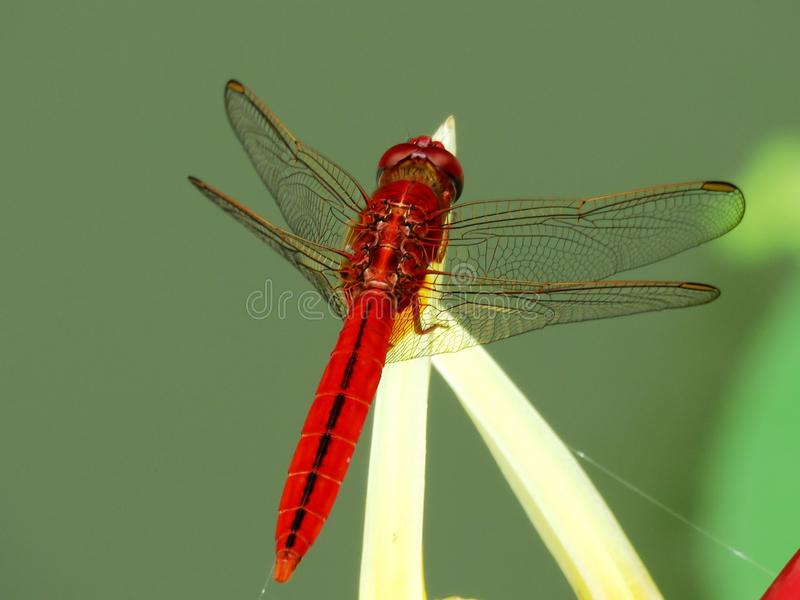 Insect, Dragonfly, Dragonflies And Damseflies, Invertebrate stock photo