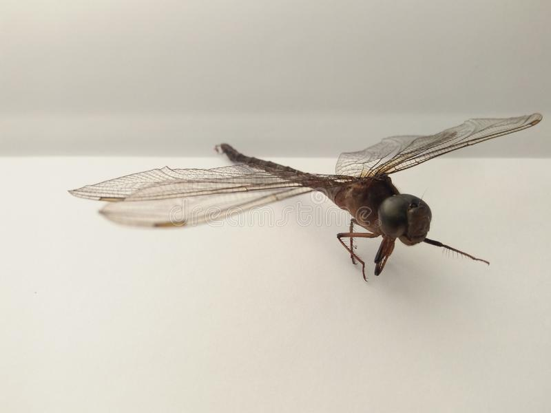 Insect dragonfly independent nature fly stock images