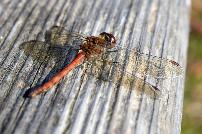 Insect, Dragonfly, Invertebrate, Dragonflies And Damseflies