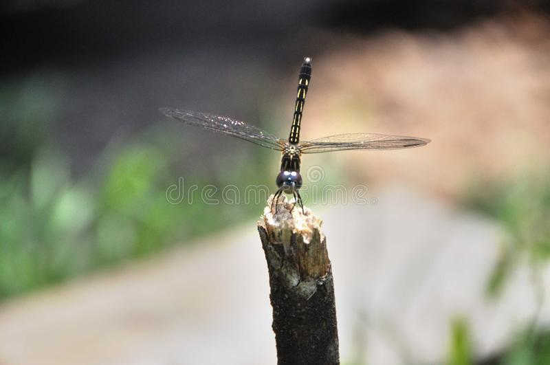 Insect, Dragonfly, Invertebrate, Fauna stock images