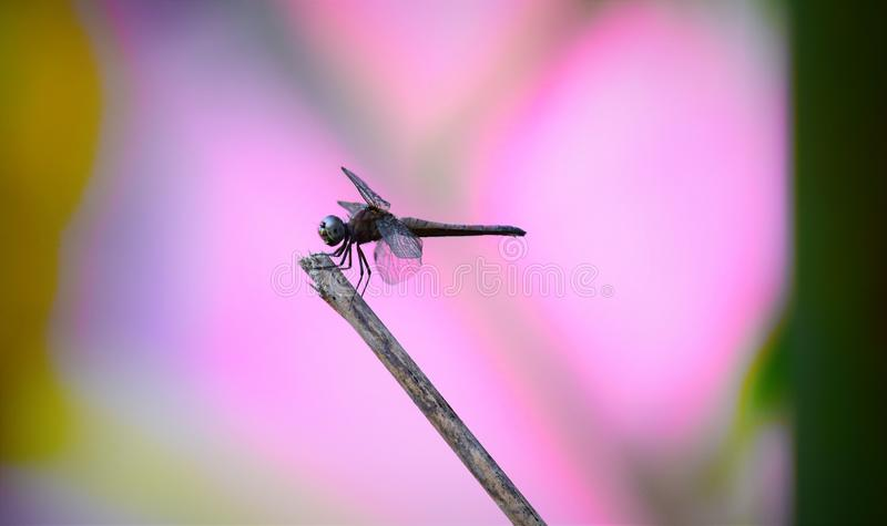 Insect, Dragonfly, Macro Photography, Dragonflies And Damseflies royalty free stock photo