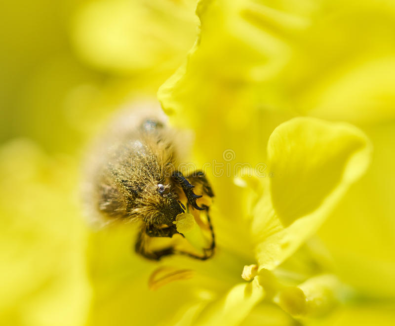 Insect eating canola flower stock image