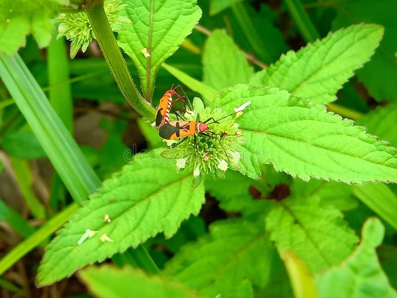 Insect een volwassen mannelijk uiterst klein oranje Mexicaans boonlieveheersbeestje, dameinsect, de Geleedpotigen van de damevoge stock foto's