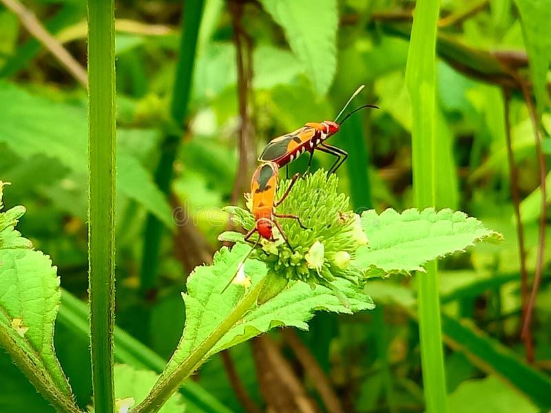 Insect een volwassen mannelijk uiterst klein oranje Mexicaans boonlieveheersbeestje, dameinsect, de Geleedpotigen van de damevoge royalty-vrije stock afbeelding