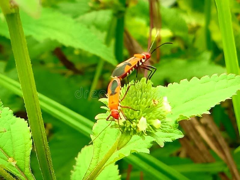Insect een volwassen mannelijk uiterst klein oranje Mexicaans boonlieveheersbeestje, dameinsect, de Geleedpotigen van de damevoge royalty-vrije stock foto's