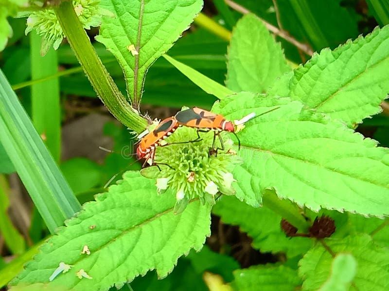Insect een volwassen mannelijk uiterst klein oranje Mexicaans boonlieveheersbeestje, dameinsect, de Geleedpotigen van de damevoge royalty-vrije stock afbeeldingen
