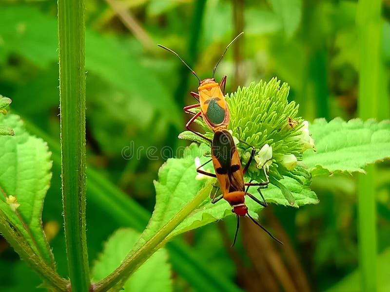 Insect een volwassen mannelijk uiterst klein oranje Mexicaans boonlieveheersbeestje, dameinsect, de Geleedpotigen van de damevoge stock foto