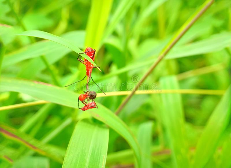 Insect een volwassen mannelijk uiterst klein oranje Mexicaans boonlieveheersbeestje, dameinsect, de Geleedpotigen van de damevoge stock fotografie
