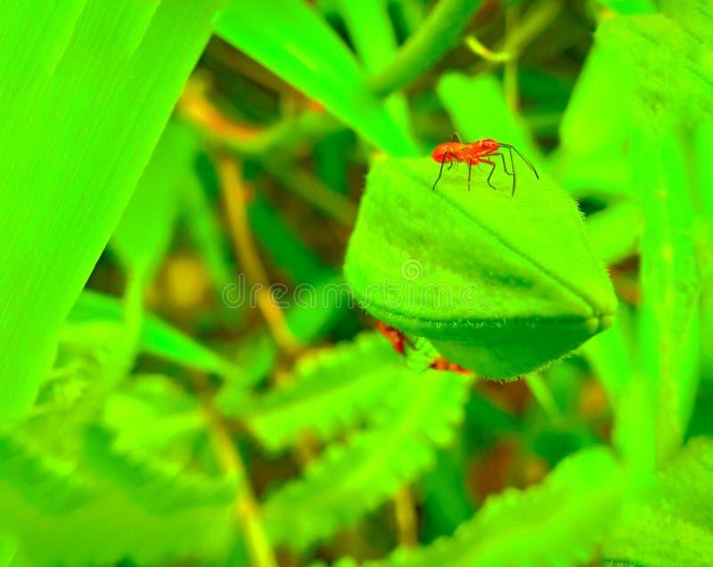 Insect een volwassen mannelijk uiterst klein oranje Mexicaans boonlieveheersbeestje, dameinsect, de Geleedpotigen van de damevoge royalty-vrije stock foto