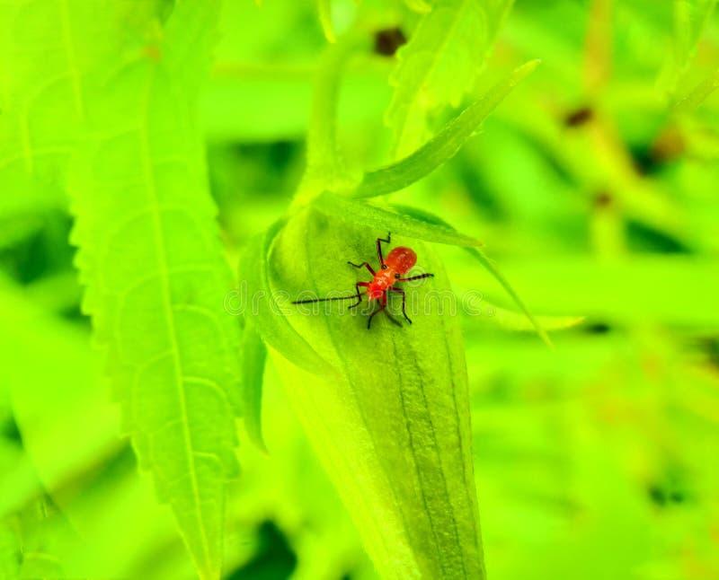 Insect een volwassen mannelijk uiterst klein oranje Mexicaans boonlieveheersbeestje, dameinsect, de Geleedpotigen van de damevoge stock afbeelding