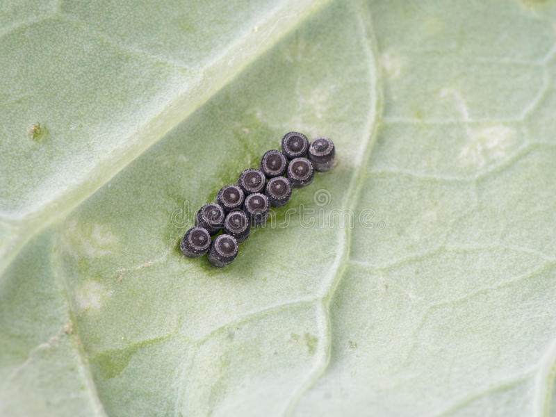 Insect eggs - stink bugs, shield bugs - on cabbage leaf. royalty free stock photo