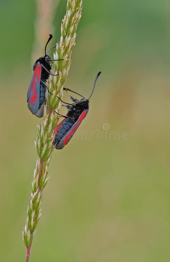 Insect, Fauna, Butterfly, Invertebrate royalty free stock photography