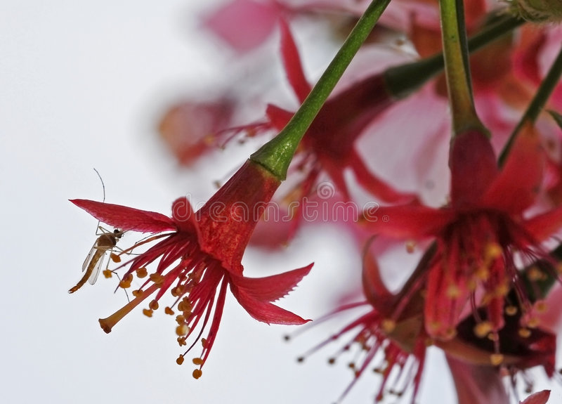 Download Insect Feeding On Cherry Flower Stock Photo - Image: 3974298