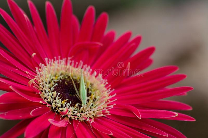 An insect feeding on a red flower. stock photo