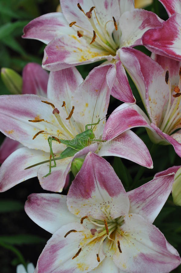 Insect on the flower of a Lily. stock photo