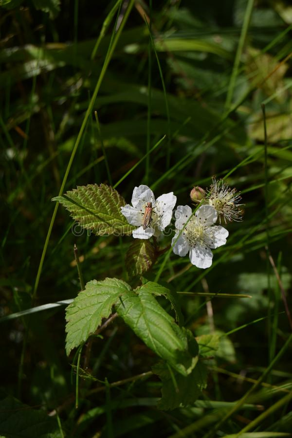 Insect on flower, Mendip hills. An insect on a flowering bramble, path to Beacon Batch, Mendip hills stock photos