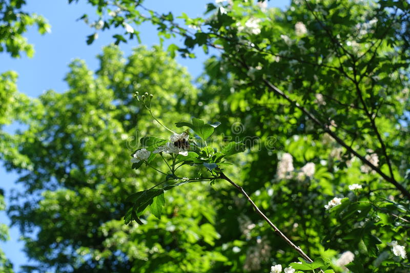 Insect on flowering branch of Crataegus royalty free stock images