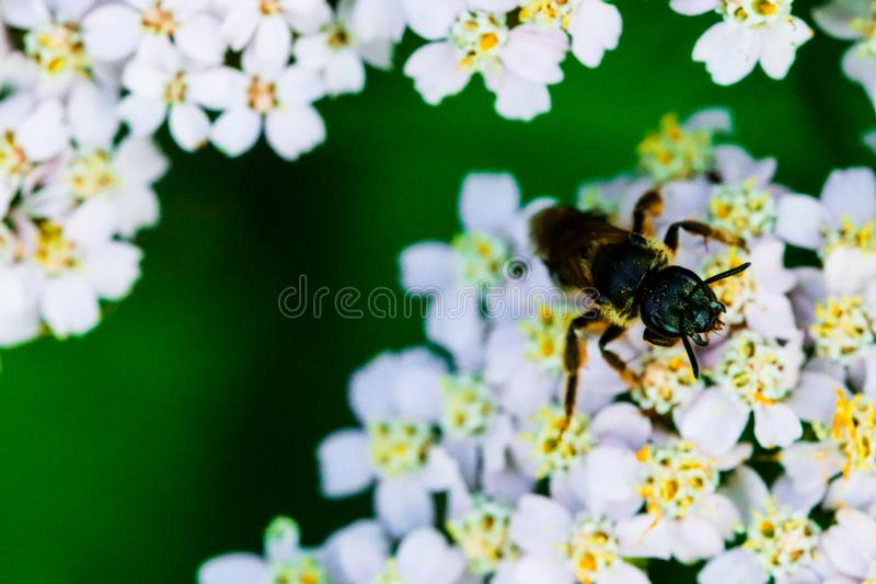 Insect on flowering white medicinal wild herb Yarrow Achillea millefolilium. Small blooming wild field flowers on the. Rural meadow in the weeds. Modest summer vector illustration