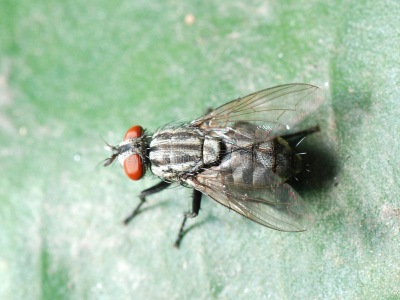 Download Insect fly macro stock image. Image of entomology, isolated - 16919939