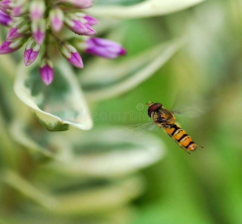 Insect flying royalty free stock photo