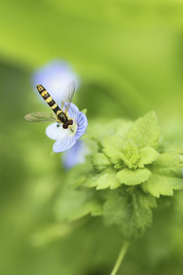 Download Insect gathering nectar stock photo. Image of collect - 23708520