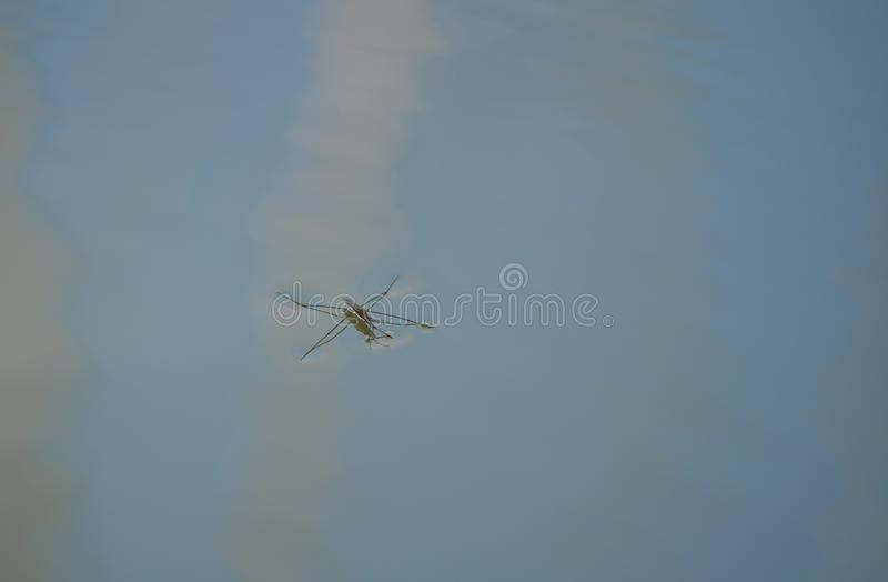 Insect gerris lacustris. On water stock image