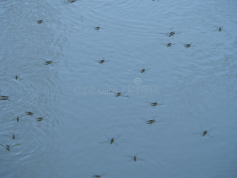 Insect gerris lacustris. On water stock photography
