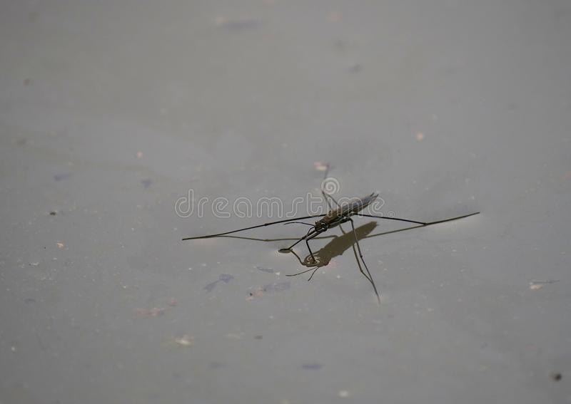 Insect gerris lacustris. On water stock photos