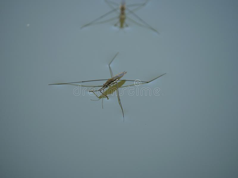 Insect gerris lacustris. On water royalty free stock images