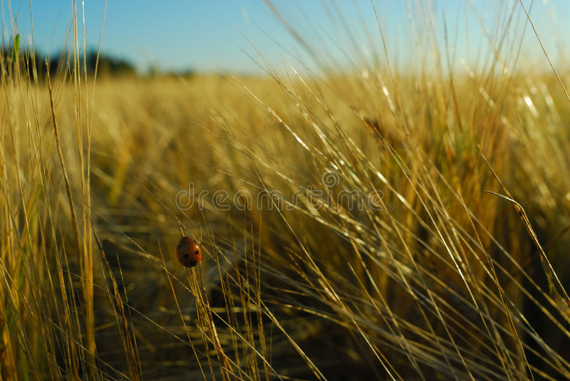 Insect in grain field stock photos